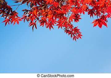 Red leaves top of frame. - Red leaves of Japanese maple tree...