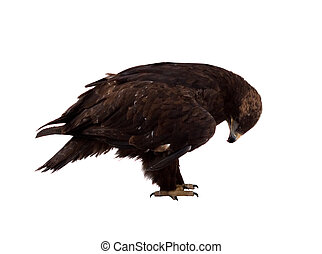 Golden Eagle Isolated over white - Golden Eagle Aquila...