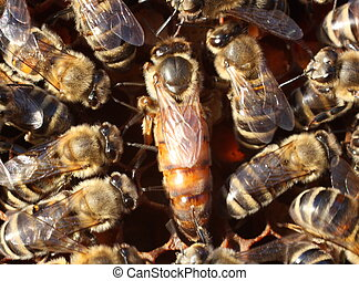 Queen bee surrounded by the workers The movement of bees...