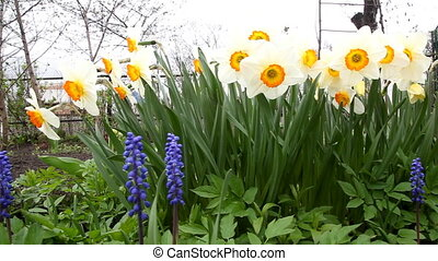 daffodils - flowerbed with daffodils