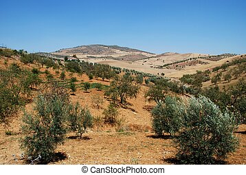 Olive groves and mountains, Spain. - Olive groves with wheat...