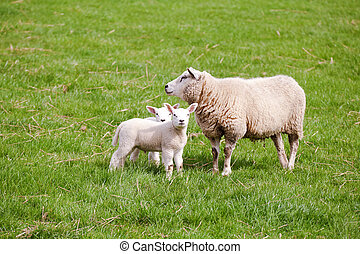 mother sheep with two lambs - mother sheep with two cute...