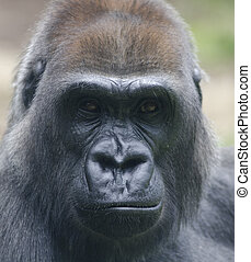 female gorilla looking