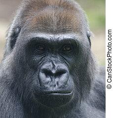 female gorilla looking