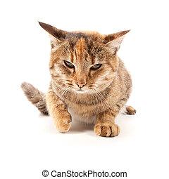 enojado, gato