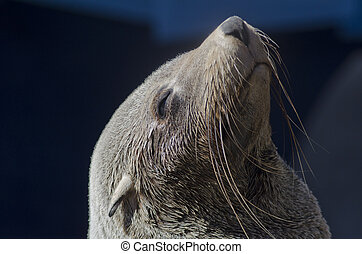 cape fur seal - Cape fur seal