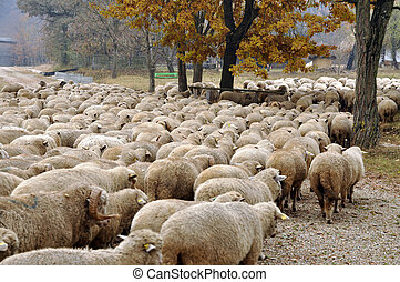 Herd of sheep gathering in Transylvania