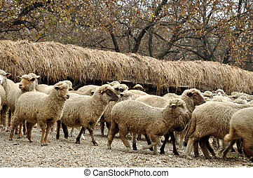 Herd of sheep gathering on a farm