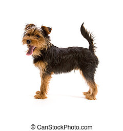Yorkshire Terrier - Adorable Yorkshire Terrier isolated on...