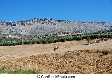Wheat fields, Almogia, Spain - Horse grazing in field with...