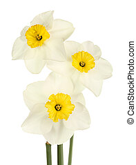 Three stems with flowers of the yellow and white small-cup daffodil cultivar Oxford isolated against a white background
