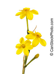 Stem of yellow jonquil flowers against a white background -...