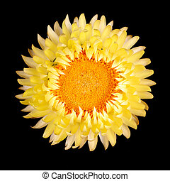 Single yellow strawflower isolated against black - Single...