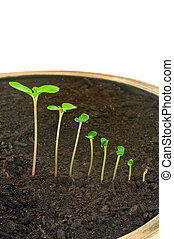 Sequence of Impatiens balsamina flower growing, isolated, evolution concept