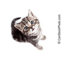Scottish or british gray kitten top view isolated - Scottish...