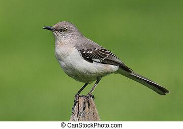 Mockingbird On A Fence - Northern Mockingbird (Mimus...