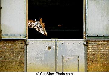 giraffa - giraffe