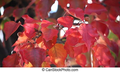 crabapple leaves in autumn - bright red fall leaves and...