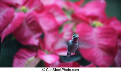 hummingbird in Christmas poinsettia - a ruby-throated...