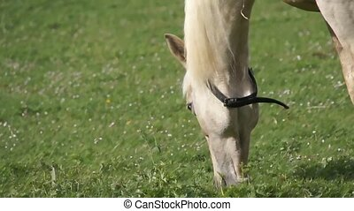 white horse - close-up of horse's head, eating grass