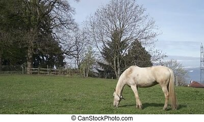 horse eating grass - white horse eating grass : side view