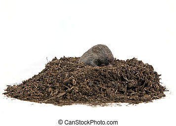 Mole - A tiny mole coming emerging out of a pile of dirt on...
