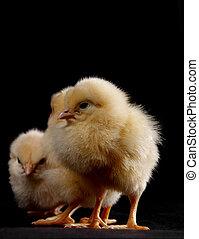 Waiting Chicks