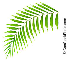 Fresh palm tree branch isolated over white background with...