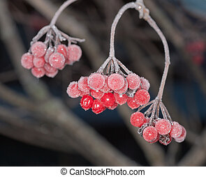 berries under hoarfrost - Branches of a arrowwood with...