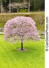 Single Cherry Tree in Green Yard - Fully bloomed cherry tree...