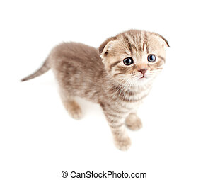 Scottish fold brown kitten top view isolated