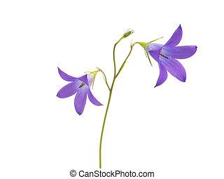 Campanula patula flower