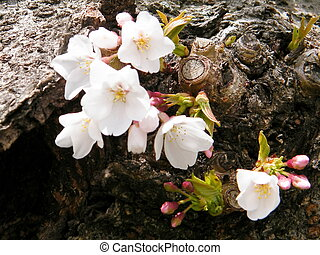 Washington Cherry Blossoms on trunk 2011 - White Cherry...