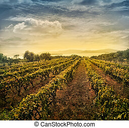 Vineyard landscape - Beautiful vineyard landscape with rows...