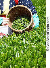 Green tea plantation - Woman harvesting tea leaves