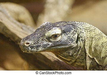 Komodo Dragon Closeup - Closeup of a Komodo Dragon with...