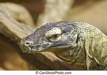Komodo Dragon Closeup - Closeup of a Komodo Dragon with...