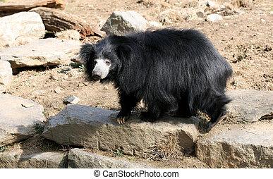 lenistwo, Niedźwiedź