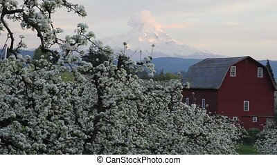Pear Orchard in Hood River Oregon with Red Barn and Mount...