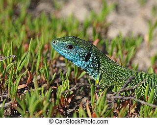 European Green Lizard on green grass, Lacerta viridis
