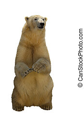 Polar bear stand on back paws isolated on white