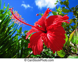 hibiscus - red tropical hibiscus in bloom
