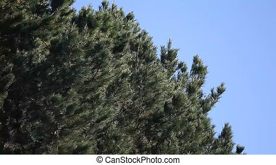 pine tree on a windy day