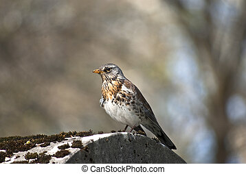 Fieldfare sitting on a stone