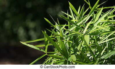 bamboo with copy space - foliage of a healthy bamboo plant...
