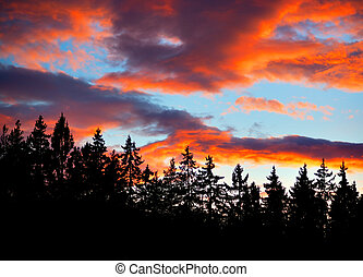 conifers on evening sky - Silhouettes of conifers on blue...