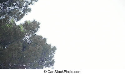 pine tree with copy space