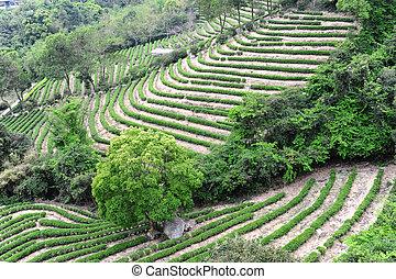 Green tea garden hill