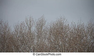 bare trees in winter - a stand of leafless trees on a cold...