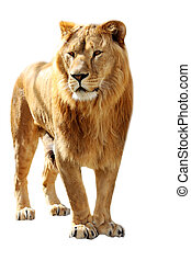 Lion stands - Big lion stands isolated on the white